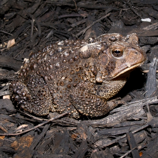 Todd the Toad